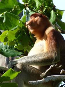 Nasenaffen im Baum des Bako Nationalparks