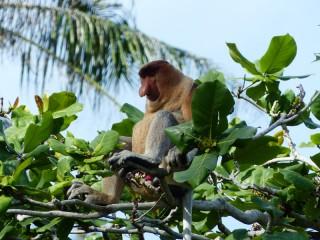 Beobachtung der seltenen Nasenaffen im Bako Nationalpark