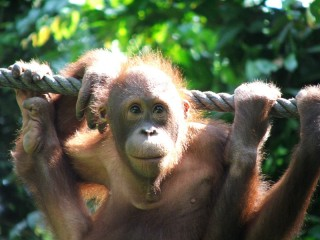Orang Utans in Borneo