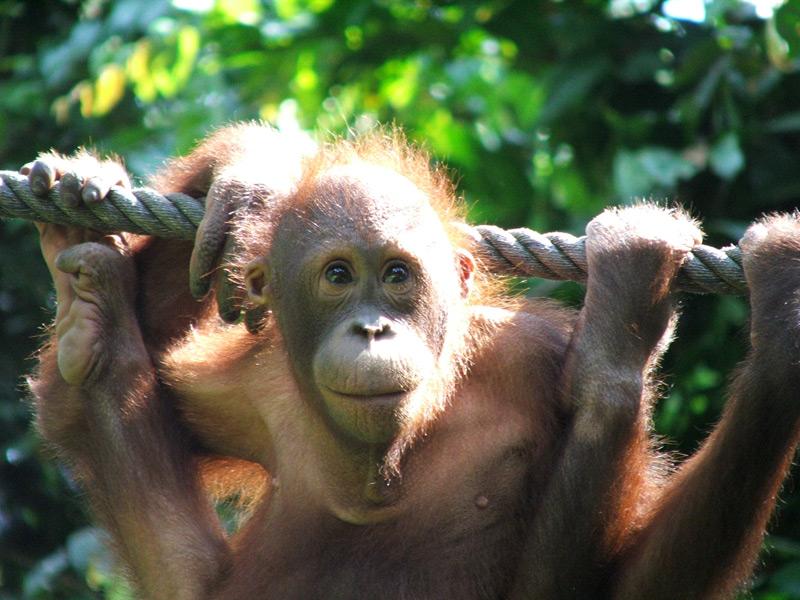 Orang Utans im Sepilok Center auf Ihrer Borneo Rundreise