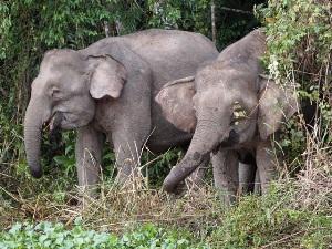 Sehen Sie die seltenen Borneo Elefanten