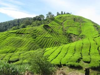 Grüne Teeplantagen in den Cameron Highlands