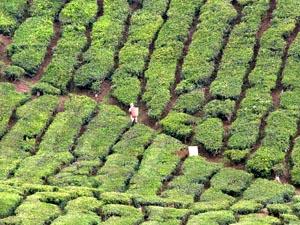 Teefelder der Cameron Highlands