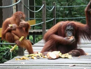 Fütterung der Orang Utans in Sepilok