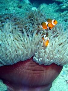 malaysia-schnrocheln-clownfisch