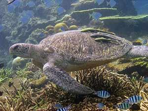 Schildkröten auf Pulau Redang