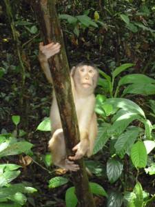 Makaken Affe in Sepilok
