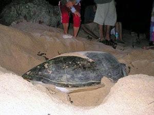 Schildköten bei der Eiablage auf Selingan