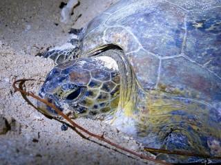 Schildkröte bei der Eiablage auf Selingan