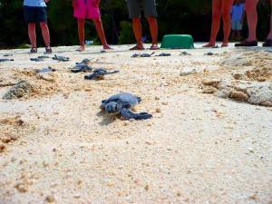 Schildkrötenspuren im Sand von Selingan