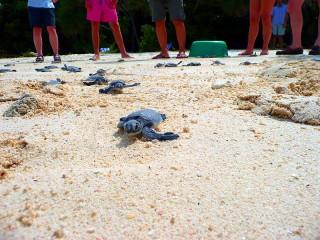 Schildkrötenbabys am Strand von Selingan