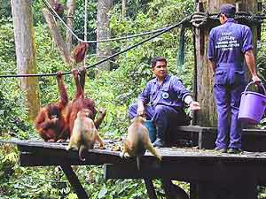 Fütterung der Orang Utans