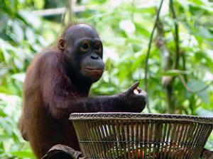 Orang Utans von Sepilok bei der Fütterung