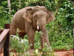 Elefantenbesuch beim Resort von Tabin