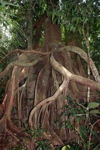 Urwaldriesen im ältesten Dschungel Malaysias