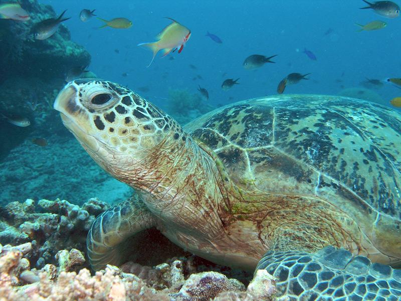 Schildkröten beobachten vor Pualu Tioman