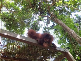 "Orang Utan ""Wulan"" im Sepilok Rehabilitation Center"