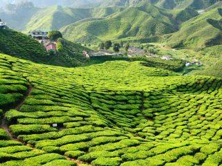 Ausgedehnte Teeplantagen in den Cameron Highlands