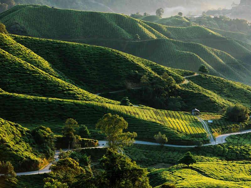Reise nach Malaysia - Blick auf die grünen Teeplantagen