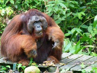 Orang Utan Männchen bei der Fütterung in Kuching