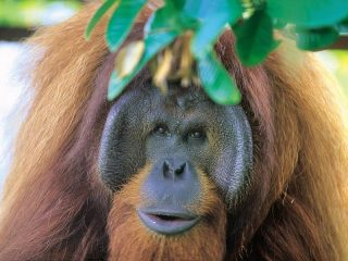Orang Utans im Borneo Dschungel bei Sepilok beobachten