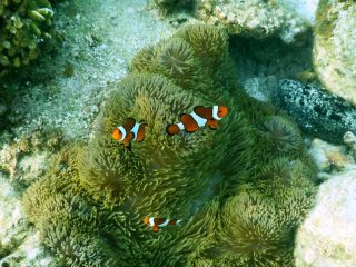 Clownfische vor den Perhentian Islands