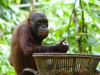 Borneo Regenwald - Orang Utans in Sepilok