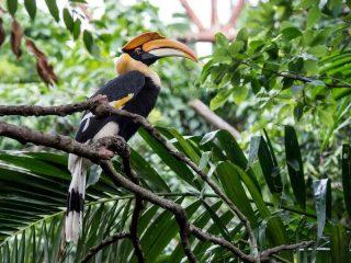 Beobachtung von Nashornvögeln im Taman Negara Nationalpark- Reise nach Malaysia