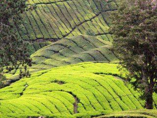 Blick auf die Teeplantagen in den Cameron Highlands