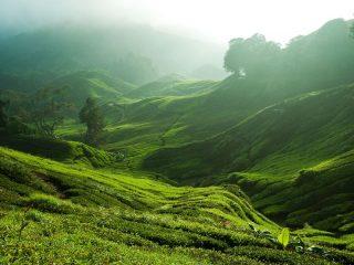 Nebel über den grünen Teeplantagen der Cameron Highlands