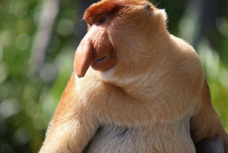 Der Bako Nationalpark ist bekannt für seine Nasenaffen