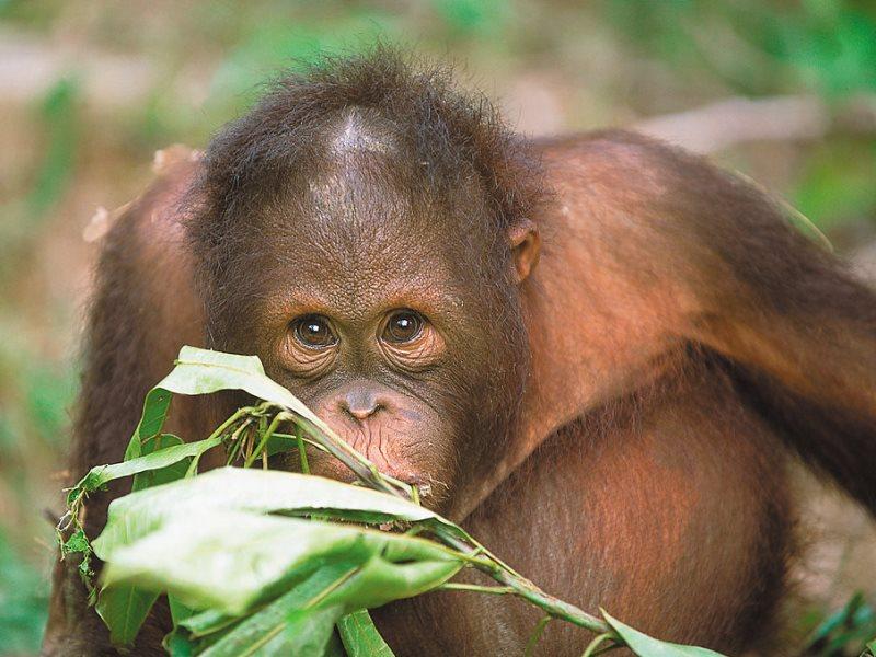 3 Wochen Malaysia - Orang Utans von Sepilok bei der Fütterung
