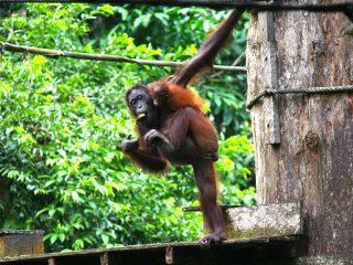 Die Affen auf Borneo