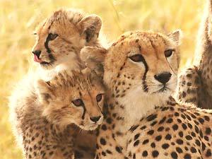 cheetah-etosha