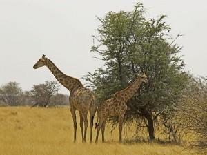 Flugsafari Botswana Giraffen Okavango Delta
