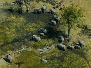 Botswana - Maun - Okavango Delta - Vogelperspektive Elefanten im Okavango Delta - Von WIndhoek zu den Victoria Falls