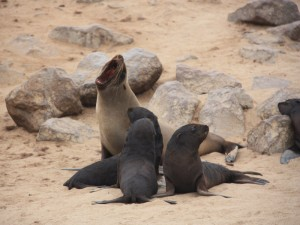 Namibia - Robben mit Jungtieren bei Cape Cross - Namibia Highlights