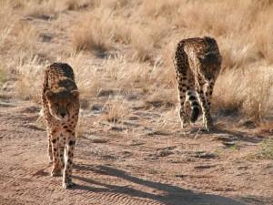 Cheethas hautnah bei Waterberg - Namibia Rundreise Selbstfahrer