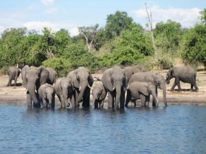 Kasane - Elefanten am Fluss im Chobe Nationalpark - Namibia Botswana
