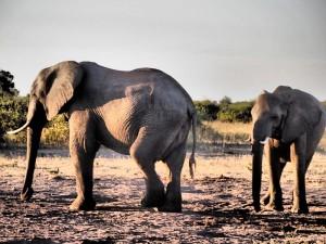 Botswana - Elefanten im Chobe Nationalpark - Rundreise Namibia, Botswana und Victoria Falls