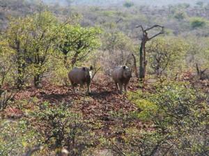Nashörner Damaraland Namibia Tierbeobachtung - Namibia Highlights