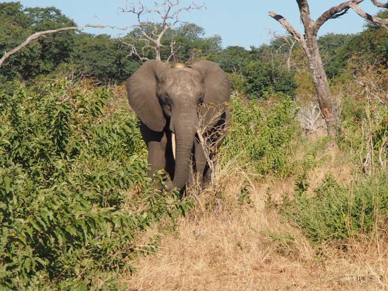 Elefant auf Ihren Namibia botswana reisen