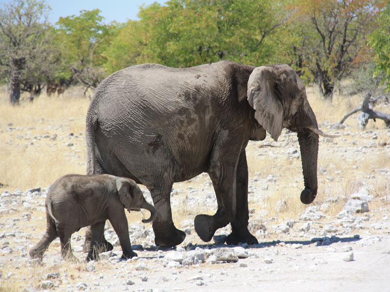 Namibia - Elefantenfamilie im Etosha Nationalpark