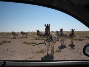 Namibia - Zebras im Etosha Nationalpark - Rundreise Namibia, Botswana und Victoria Falls