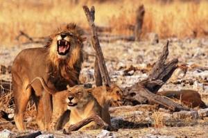 Eine Löwenfamilie im Etosha Nationalpark in Namibia
