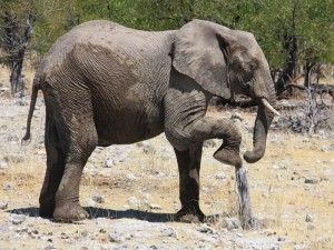 Namibia - Elefant im Etosha Nationalpark