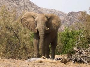 Namibia - ein Elefant im Etosha Nationalpark - Rundreise Namibia, Botswana und Victoria Falls