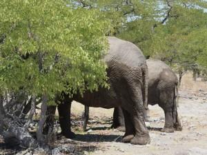 Namibia - Elefanten im Etosha Nationalpark verstecken sich im Busch