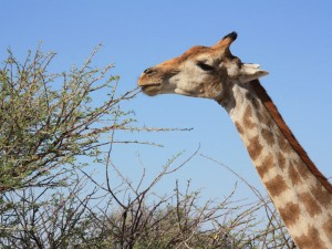 Giraffe Etosha Nationalpark Namibia Highlights