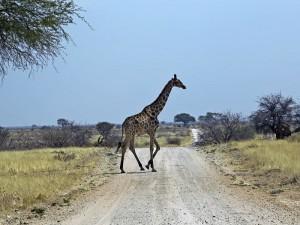 Giraffe überquert Straße im Etosha
